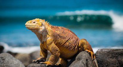 iguana-3500924_640